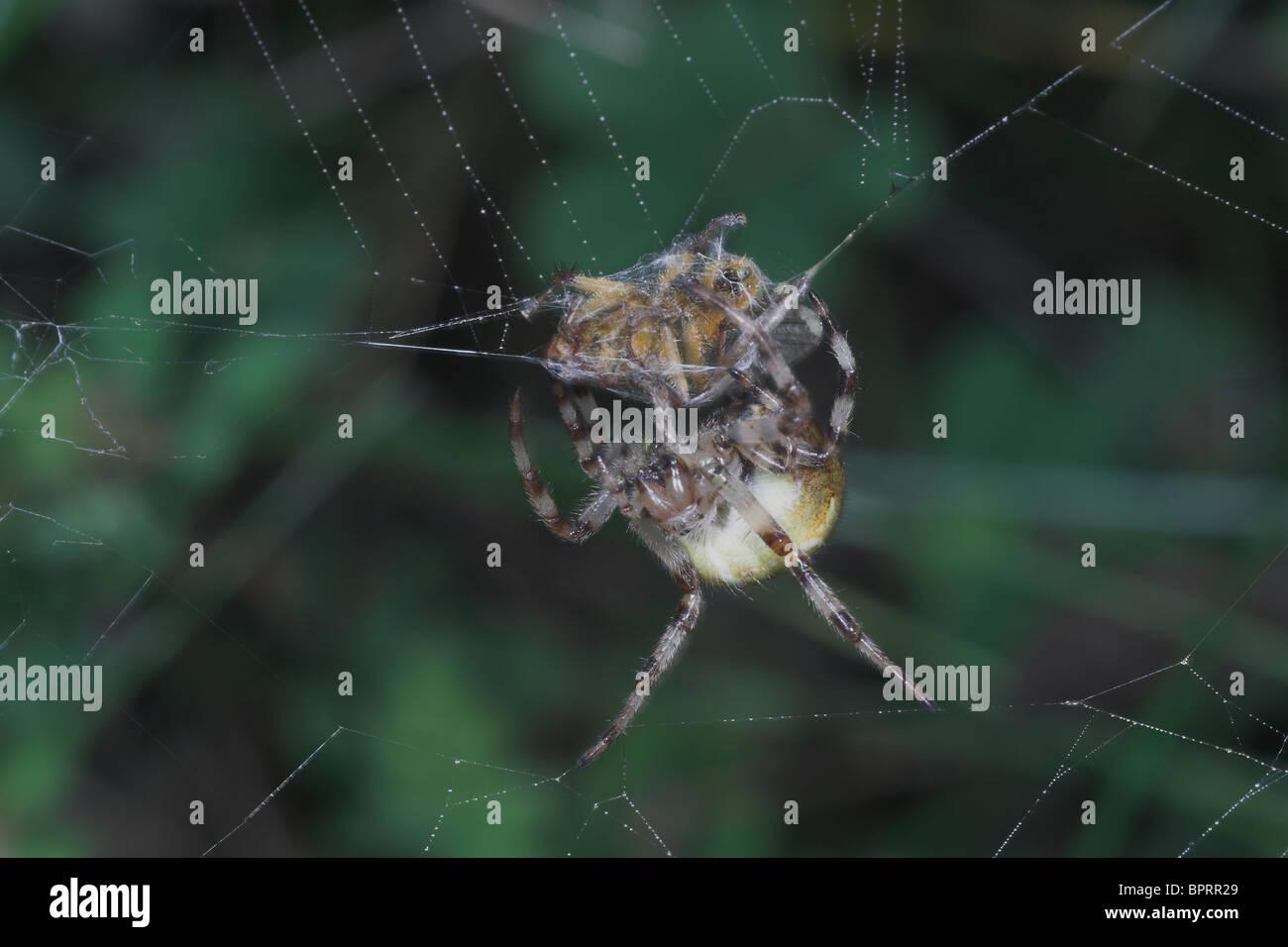 Spider with captured prey on orb web. Somerset. UK - Stock Image