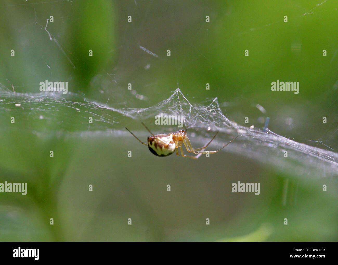 Sheet Weaver Spider or Money Spider, Linyphia hortensis, Linyphiidae, Araneoidea, Araneae, Arachnida. Whippendell Stock Photo