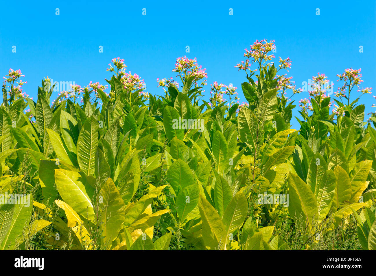 Tobacco plants with leaves, flowers and buds Stock Photo