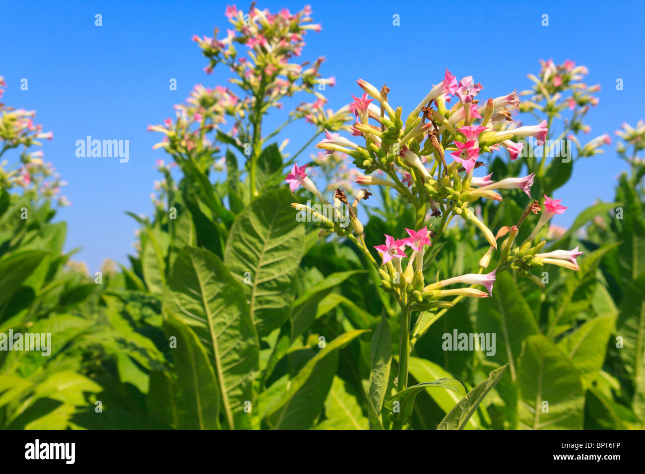 Tobacco plants with leaves, flowers and buds - Stock Image