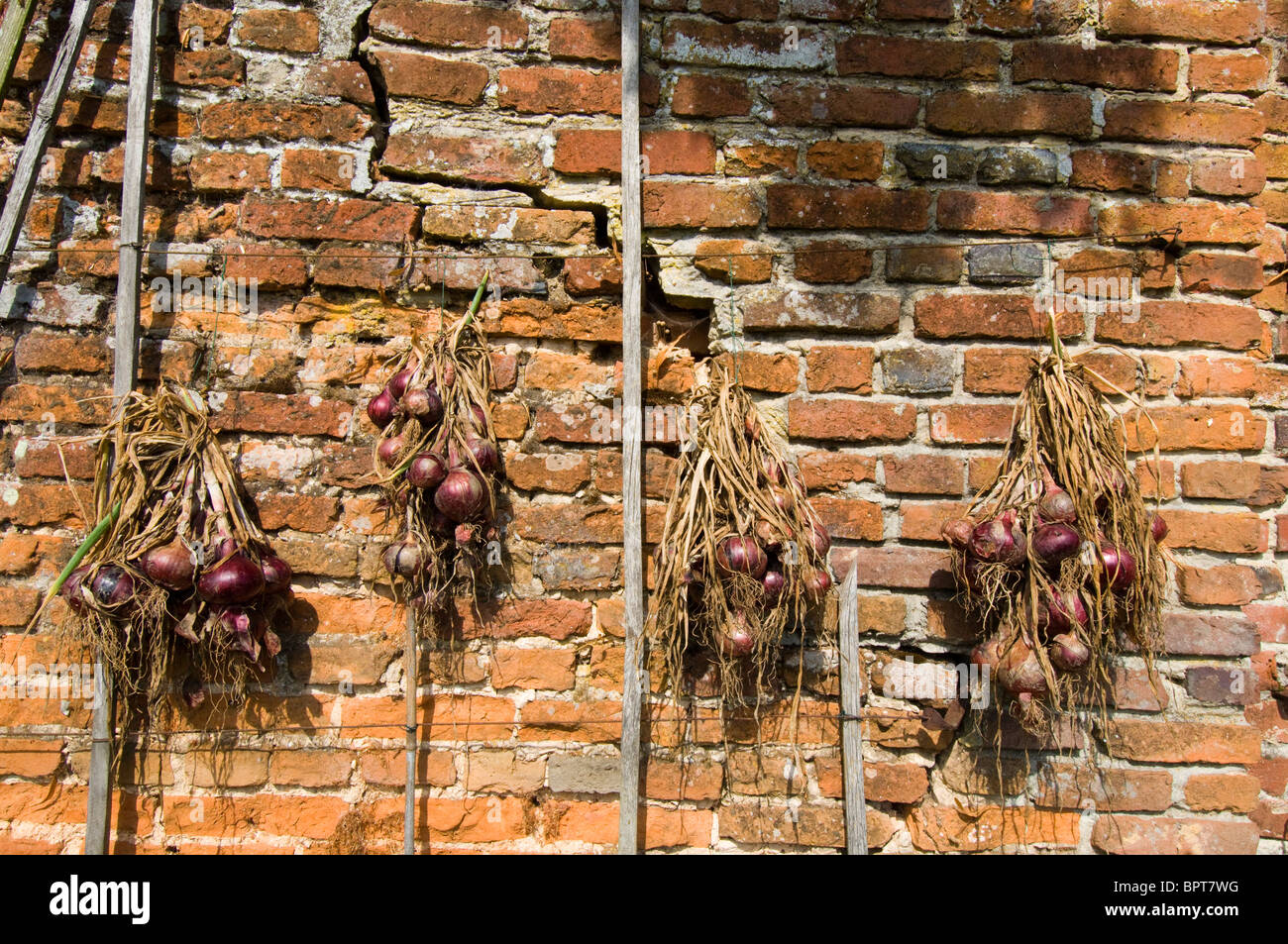 Four strings of French Onions hang on a sunny red brick wall in a French Potager Kitchen garden - Stock Image