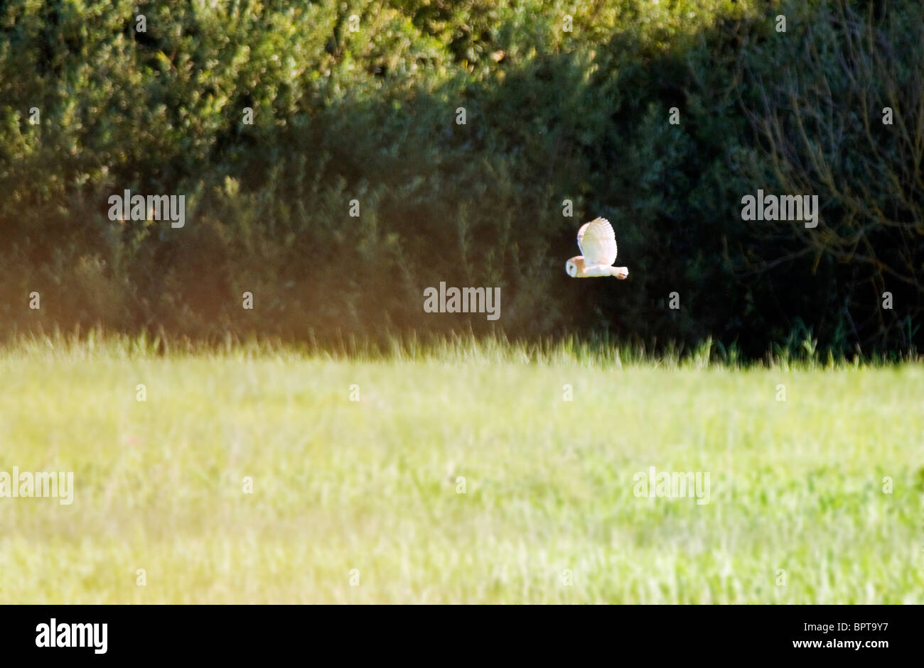 Wild Barn Owl hunting over Norfolk Marshland - Stock Image