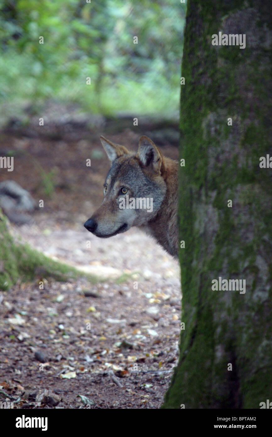 European Grey Wolf (Canis lupus) Stock Photo