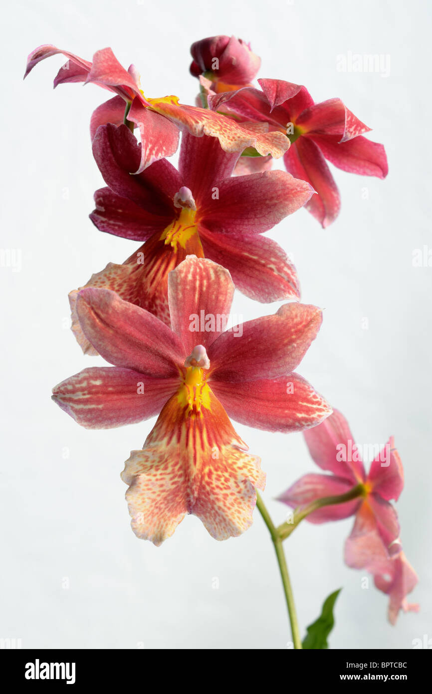 A collection of Cambria orchid blooms - Stock Image