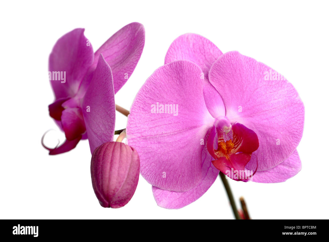 A collection of pink Phalaenopsis (moth orchid) blooms - Stock Image