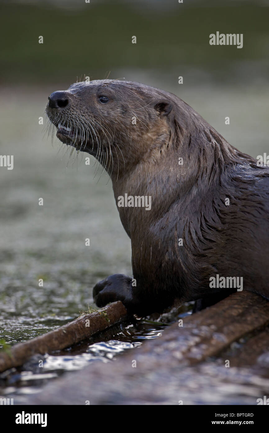 River Otter(s) - (Lutra canadensis) - Wyoming - Eat fish frogs turtles muskrats crayfish - playful intelligent animals - Stock Image