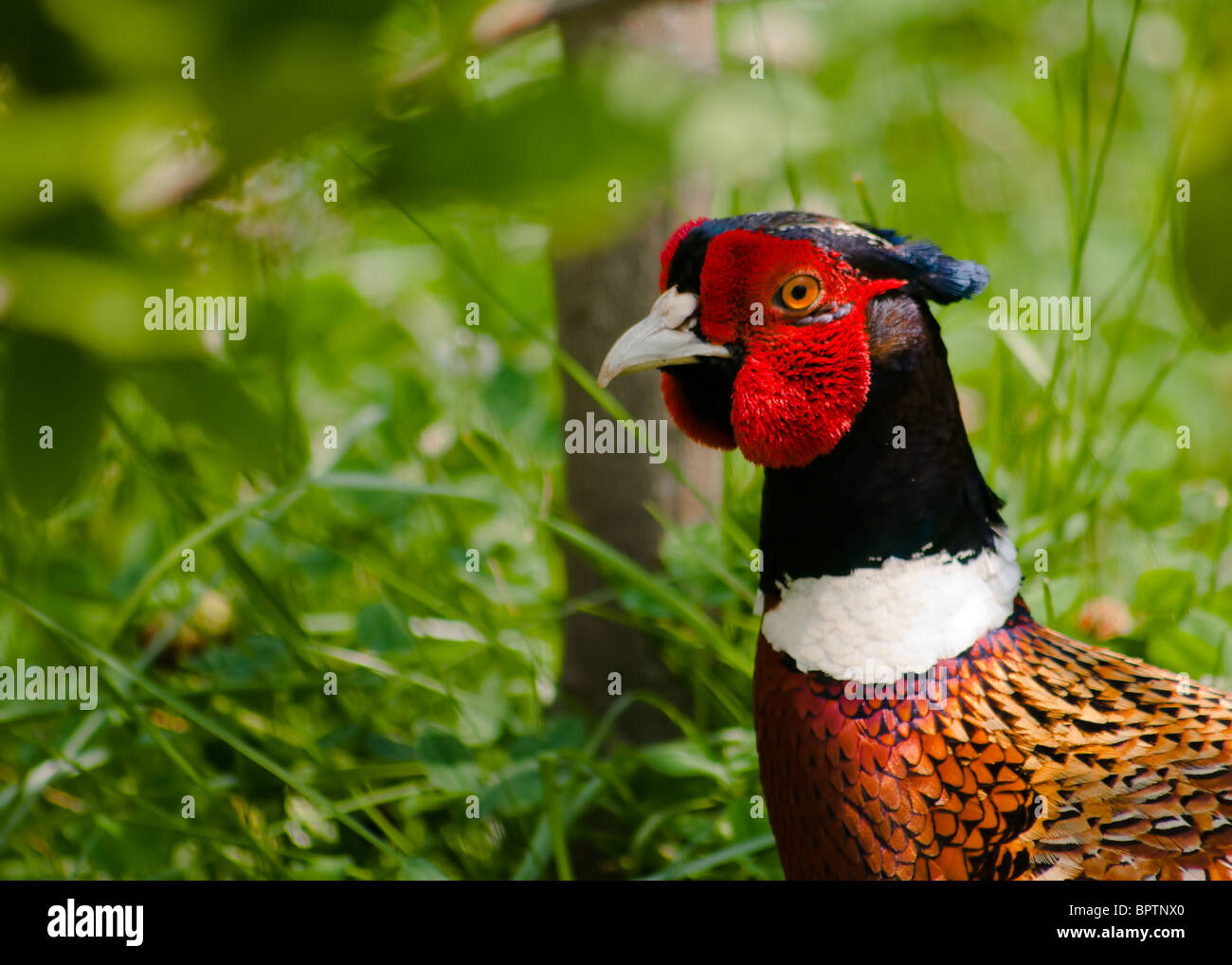 The Common Pheasant (Phasianus colchicus), is a bird in the pheasant family (Phasianidae). 'Ring-necked Pheasant' - Stock Image