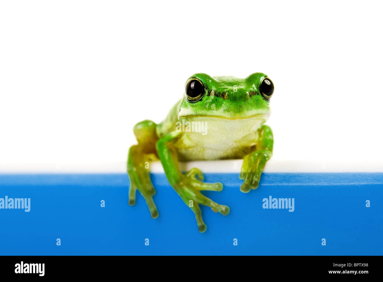 Green frog looking out of blue cooking pot Stock Photo
