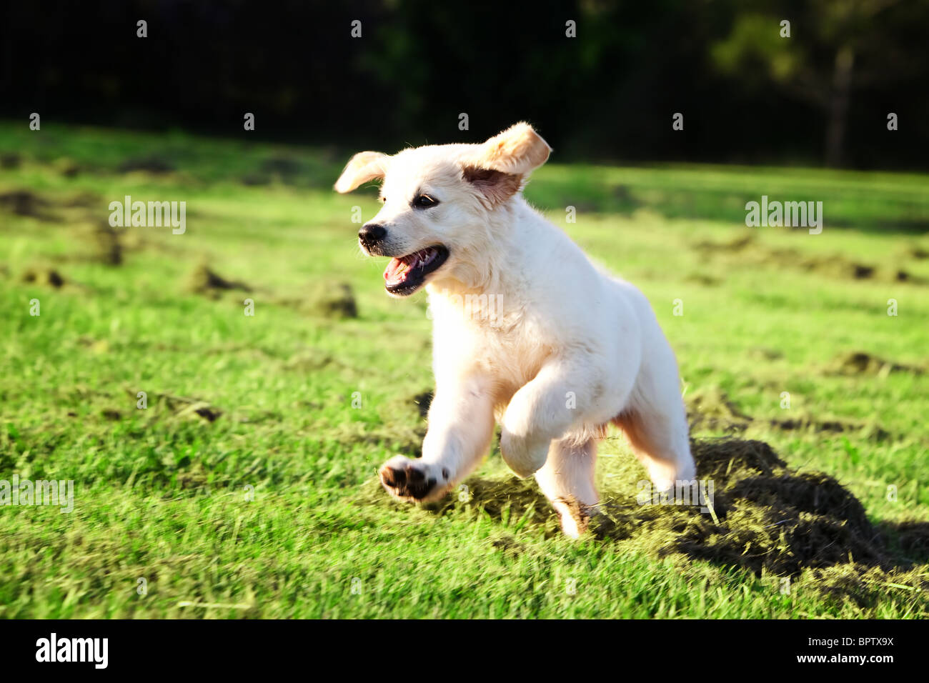 Golden retriever puppy running and jumping in the grass - Stock Image