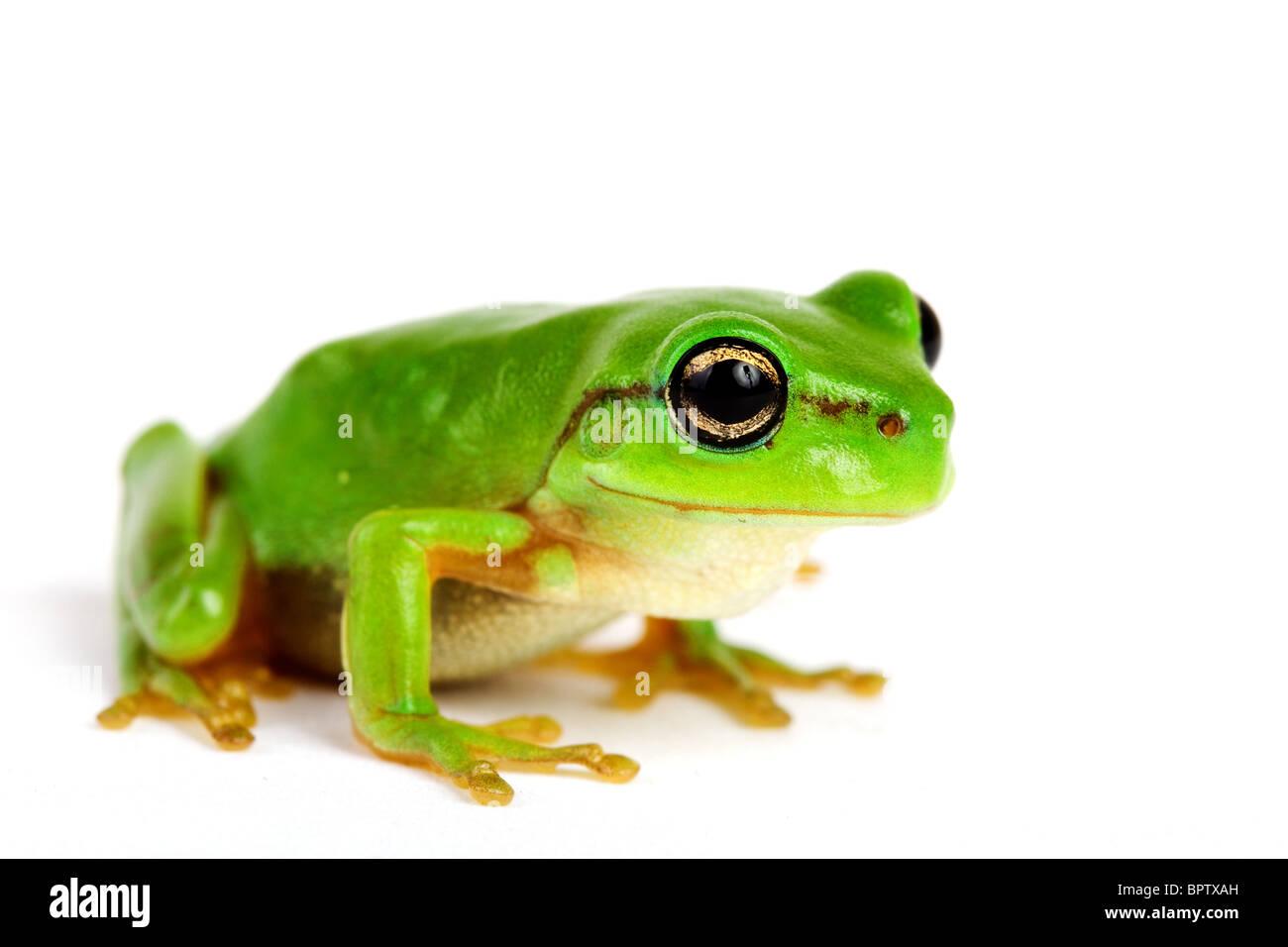 Little tree-frog on white background - close-up - Stock Image