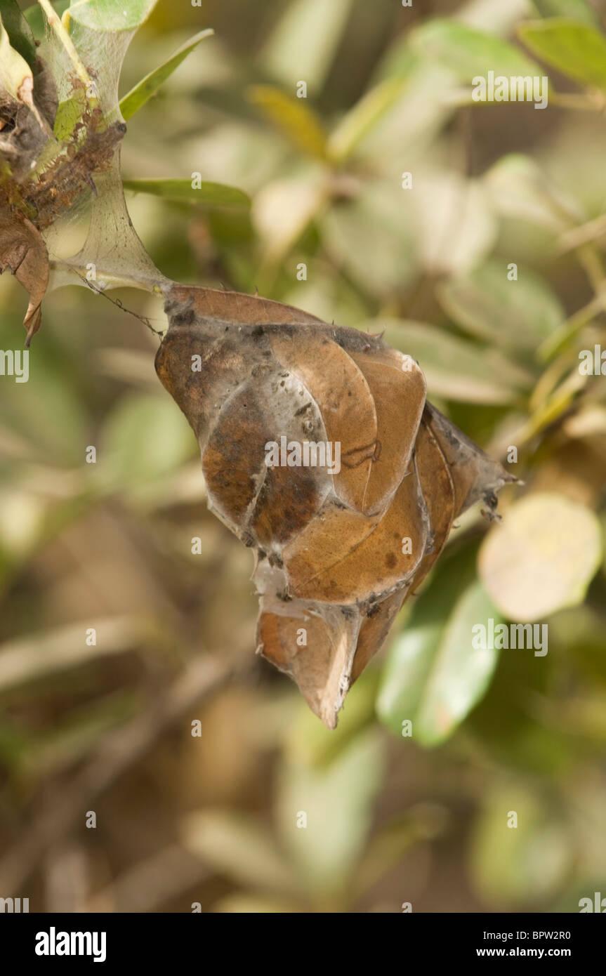weaver ant nest (Oecophylla longinoda), Bijilo Forest Park, Kololi, the Gambia - Stock Image