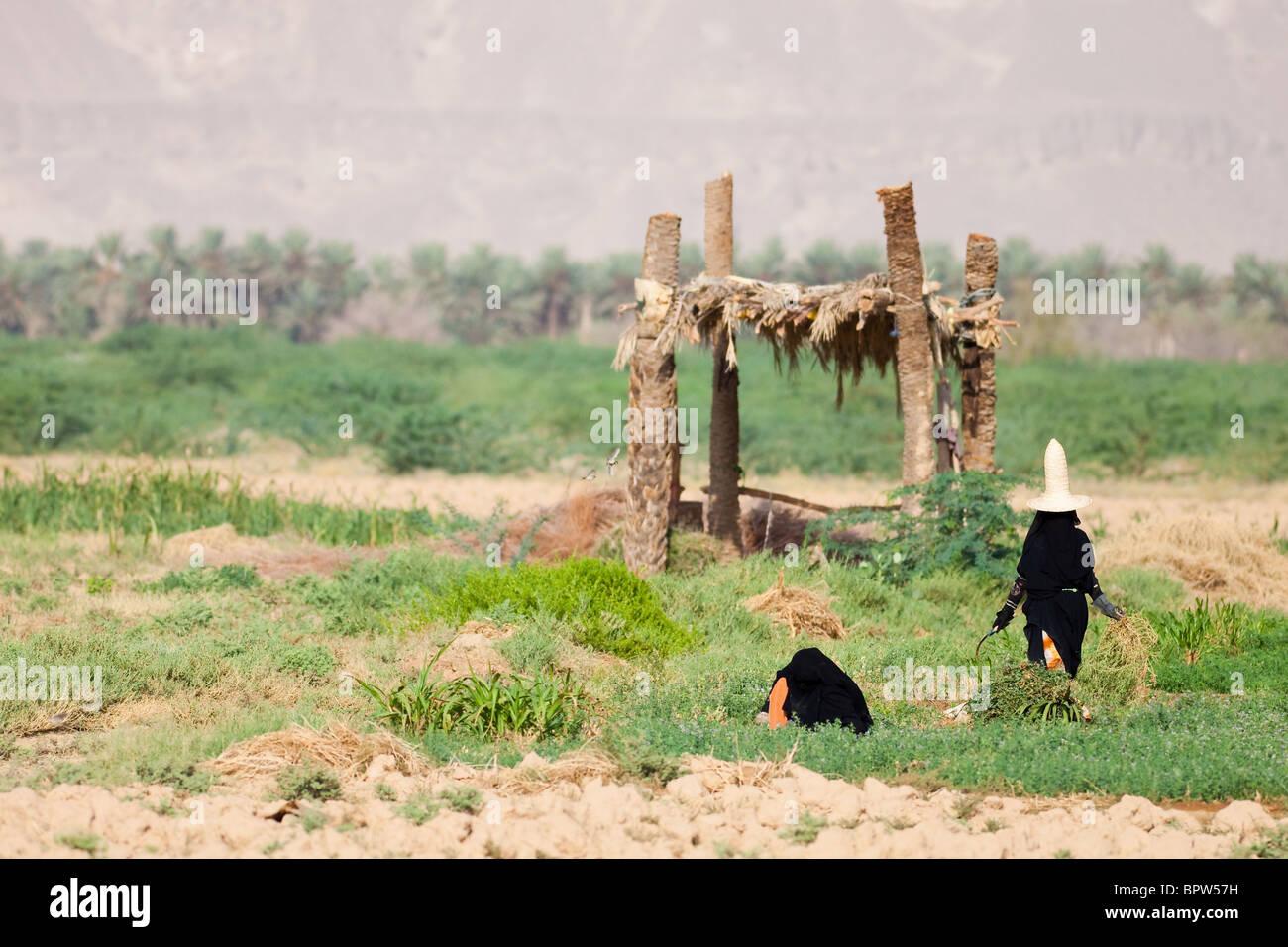 Veiled women working in fields, Hadamaut, Yemen - Stock Image