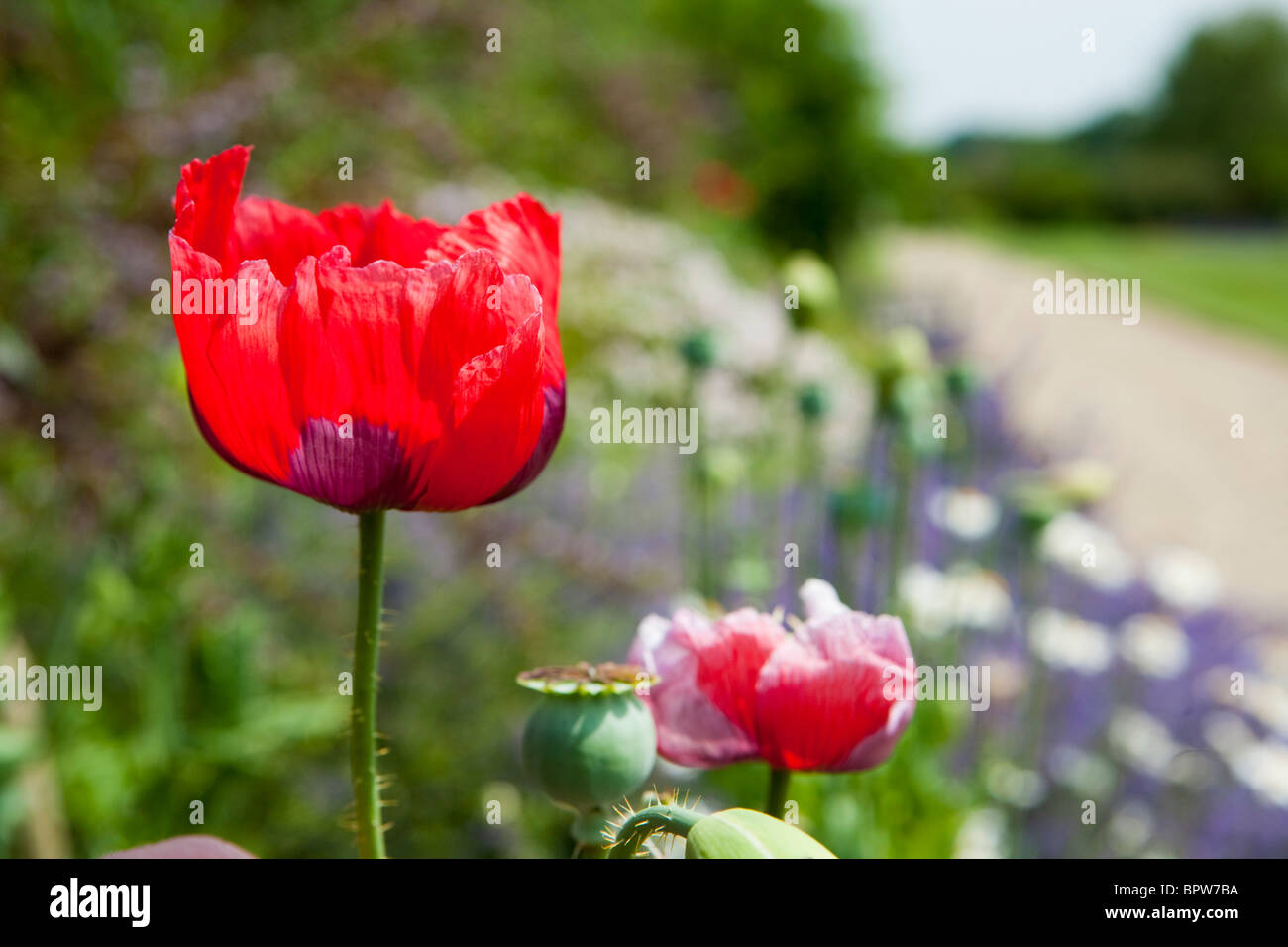 Red Poppy flower in english country garden - Stock Image