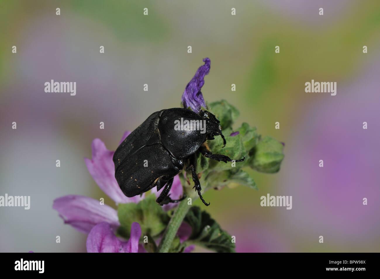 Black Rose Chafer - Black Rose beetle (Netocia morio - Protaetia (Netocia) morio) gathering nectar on flower at - Stock Image