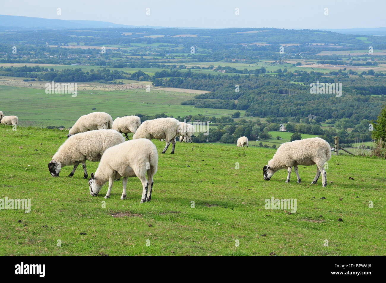 Sheep grazing on South Downs - Stock Image