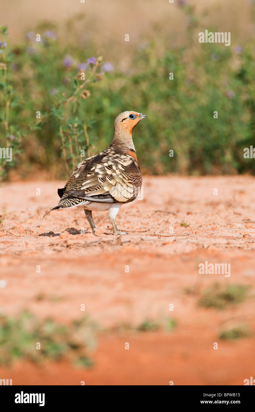 Sandgrouses (pterocles alchata) coming to drink from a waterhole in the Central Spanish steppes during the summer. Stock Photo