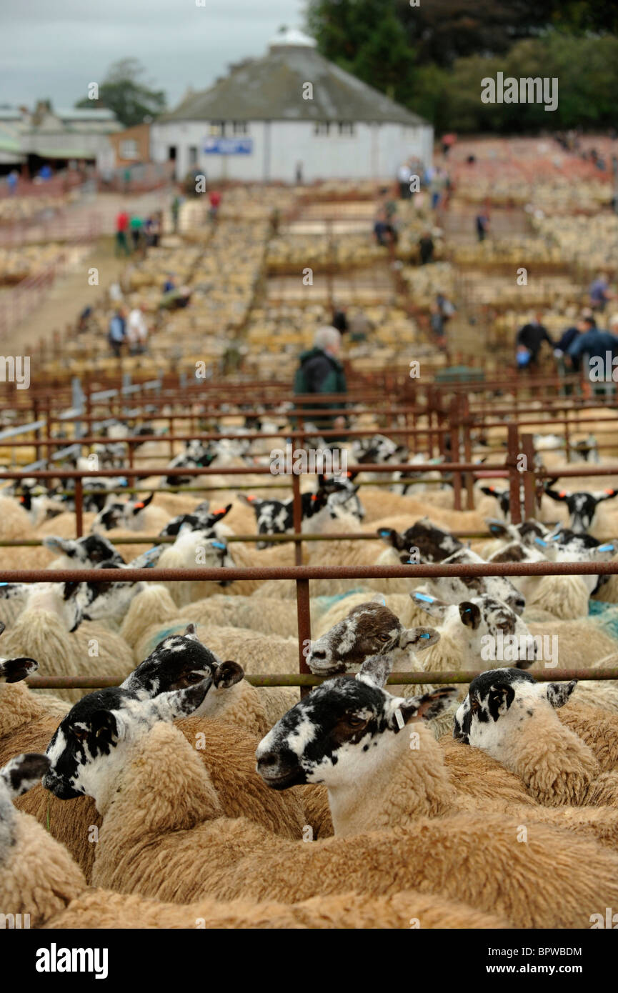 Alston Moor Day at Harrison and Hetherington Lazonby Mart, Cumbria. A sale of 19,645 mule gimmer lambs - Stock Image