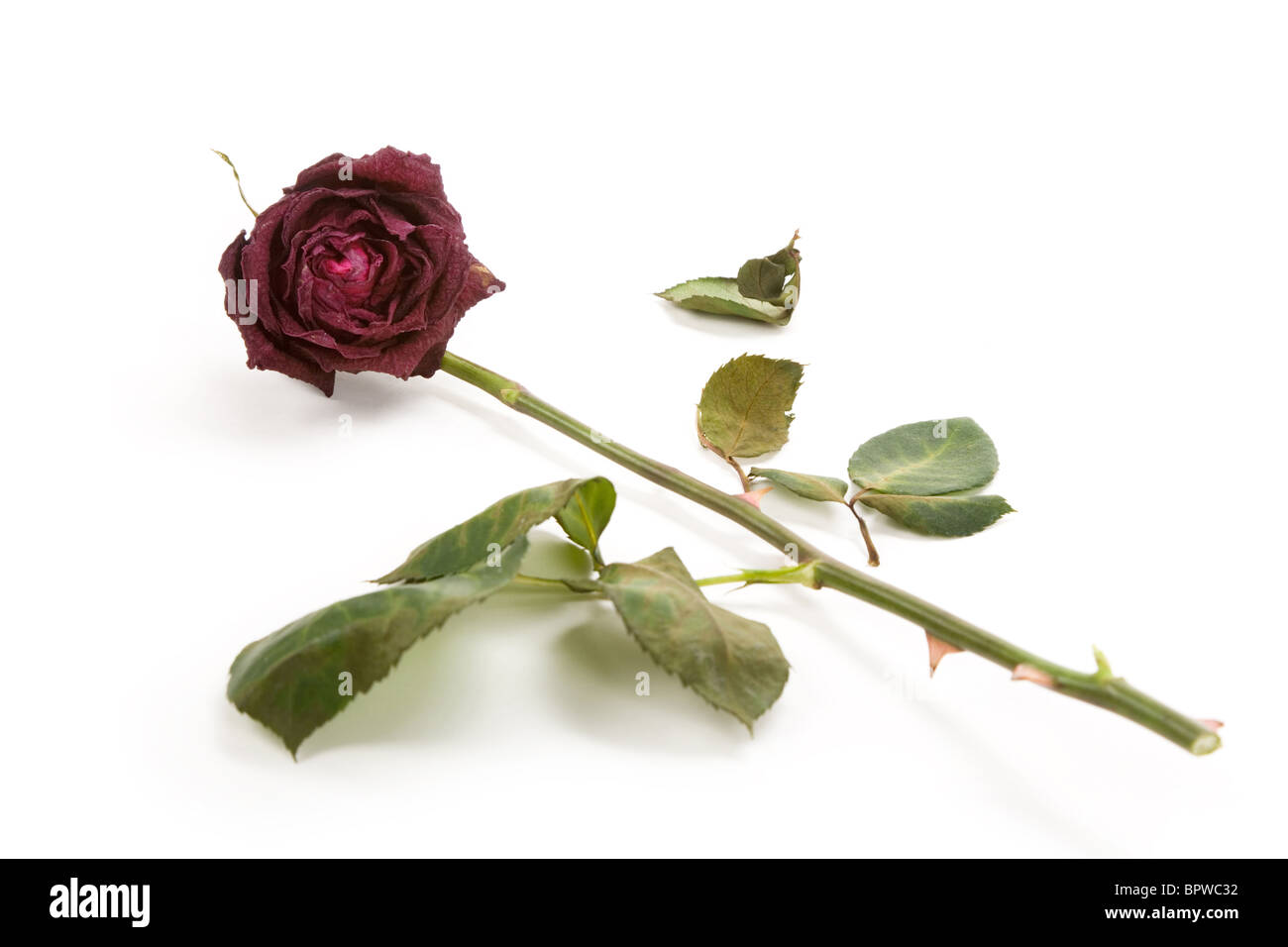 red dead rose, concept of lost love Stock Photo