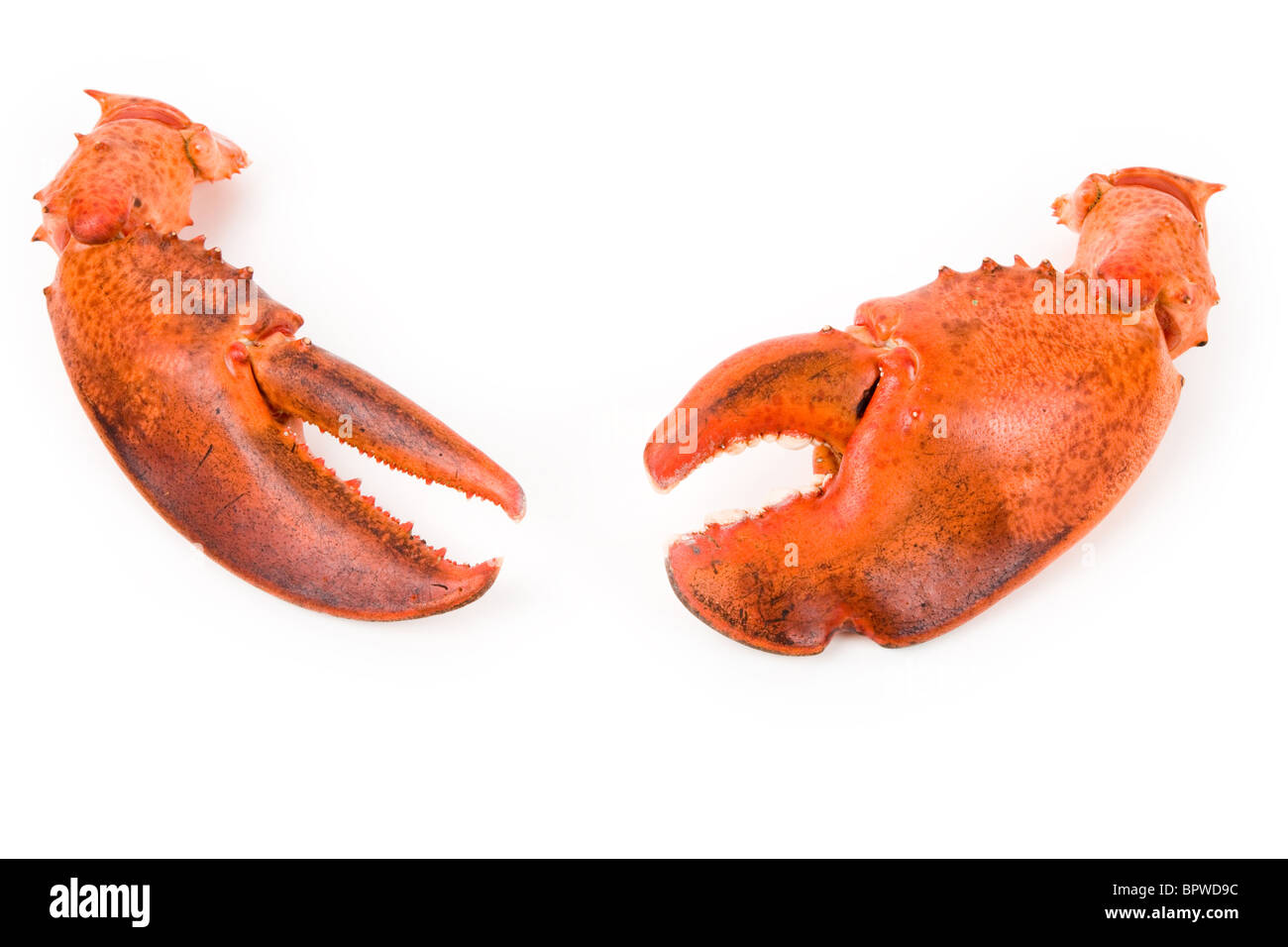 Lobster claw with white background - Stock Image