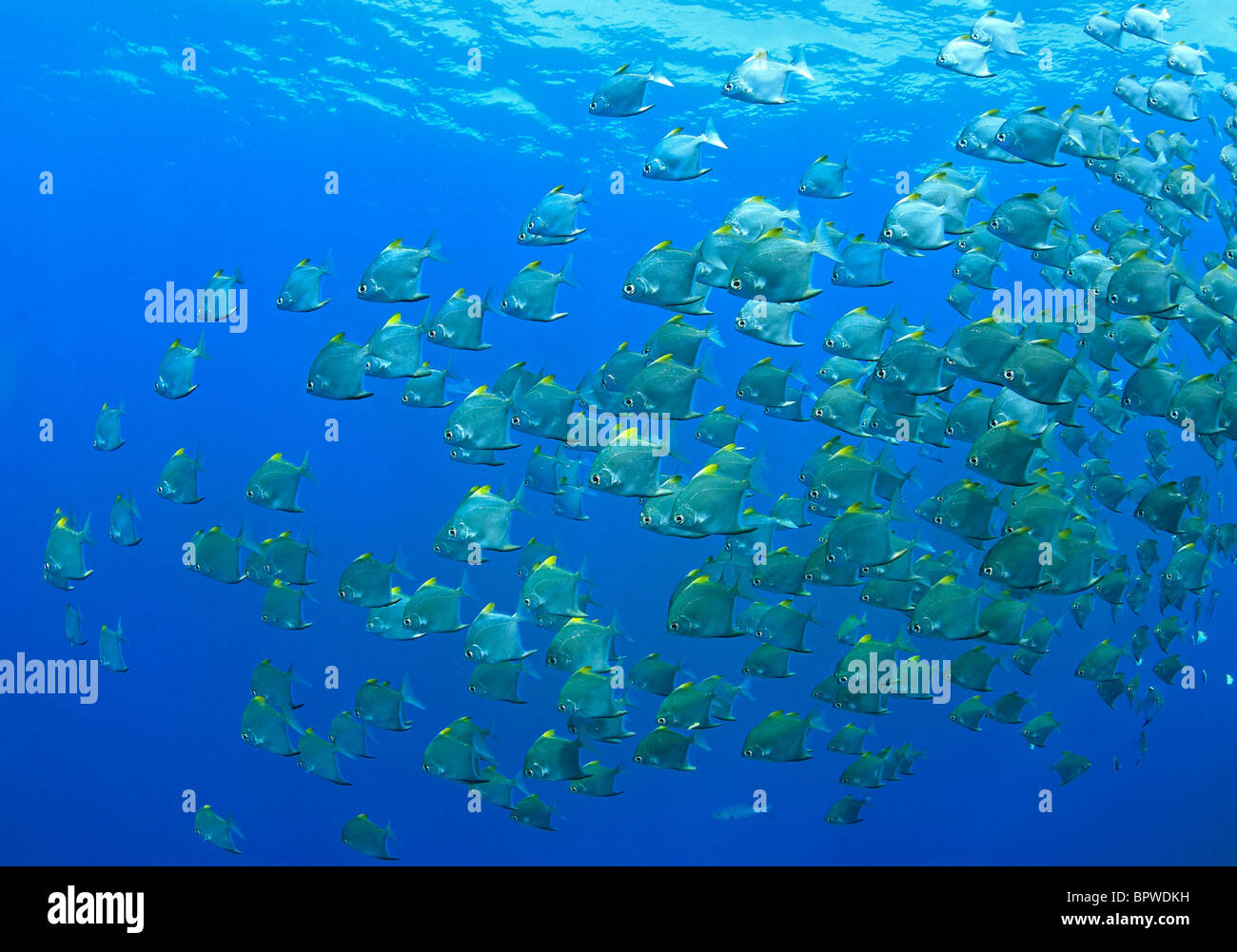 A school of dartfish, or diamondfish, Monodactylus argenteus, swimming underwater. Uepi, Solomon Islands - Stock Image