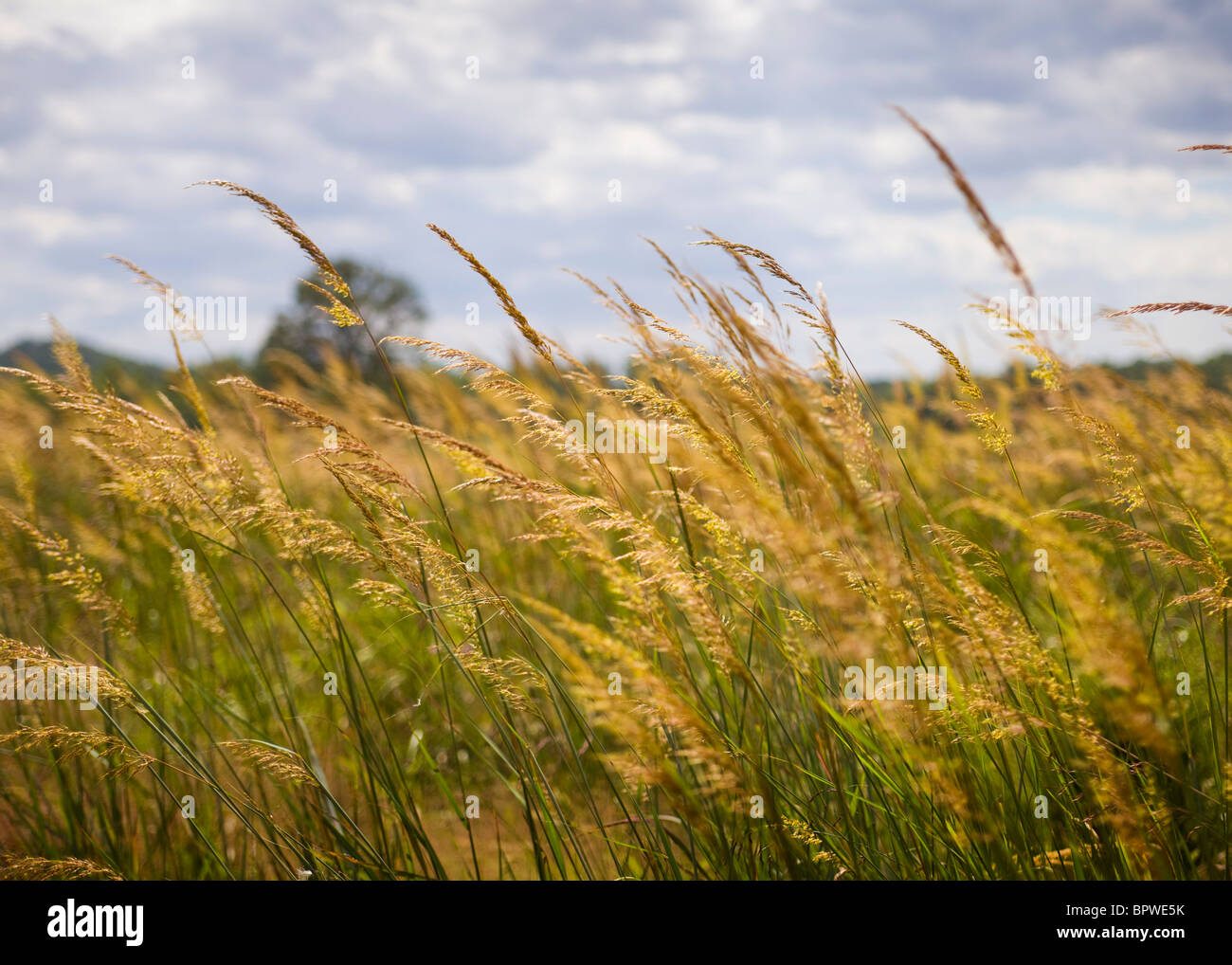 Wild grass field in late summer - Stock Image