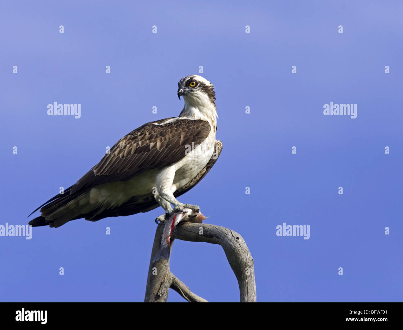 Perched osprey with fish in talons - Stock Image