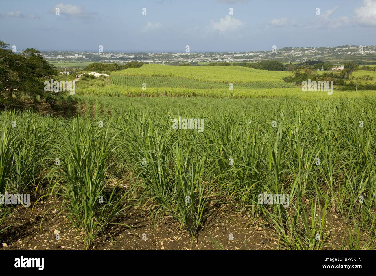 Detail of fields of sugar cane growing in St George Valley in Barbados in the Caribbean Islands - Stock Image