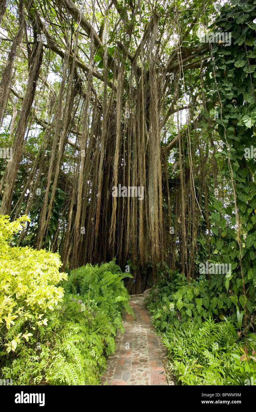 Bearded Fig Tree, Ficus citrifolia at Andromeda Botanic Gardens in ...