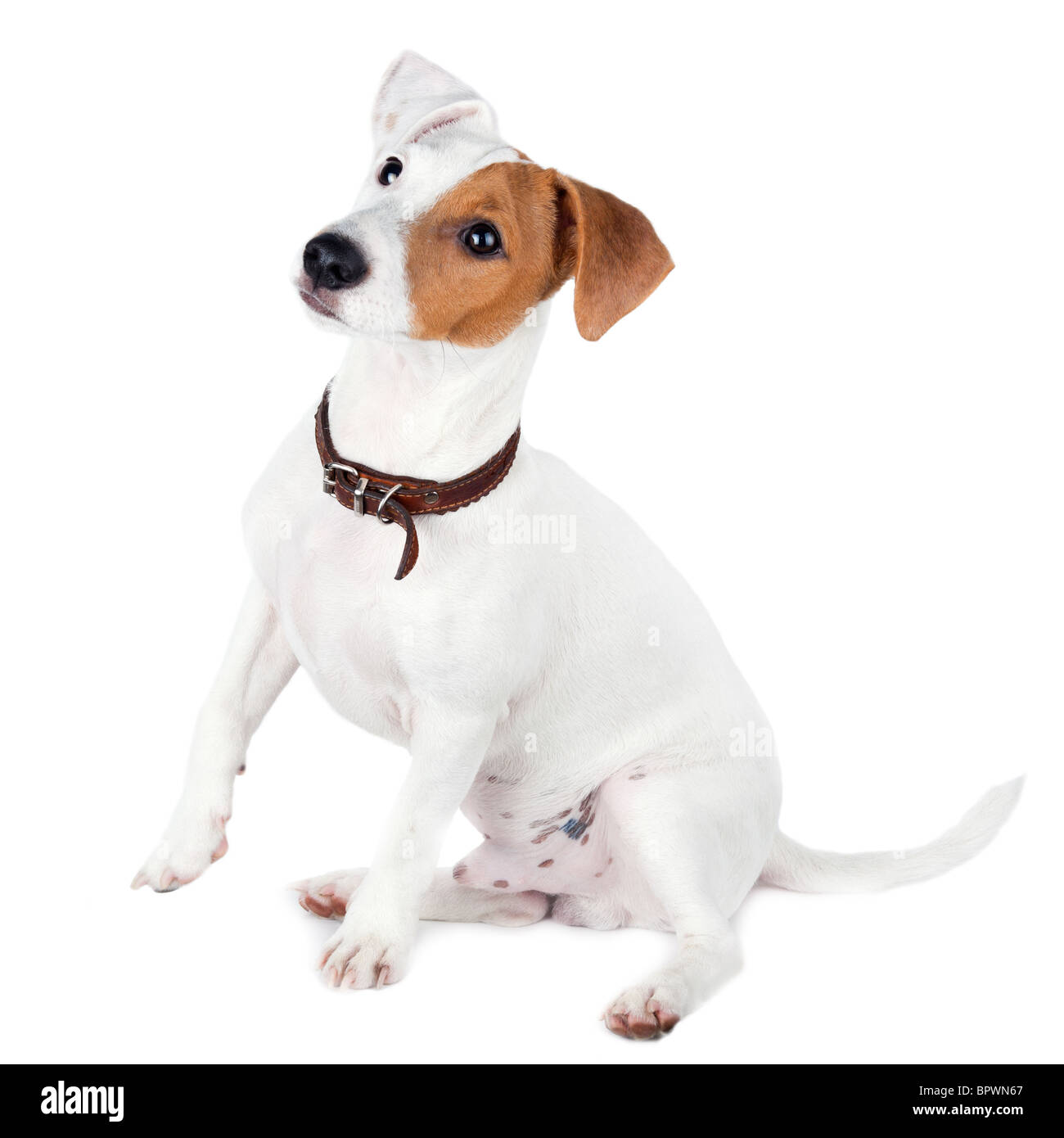 Puppy of a dog in studio against a white background. A Jack Russell terrier is a dog with a high level of energy. - Stock Image