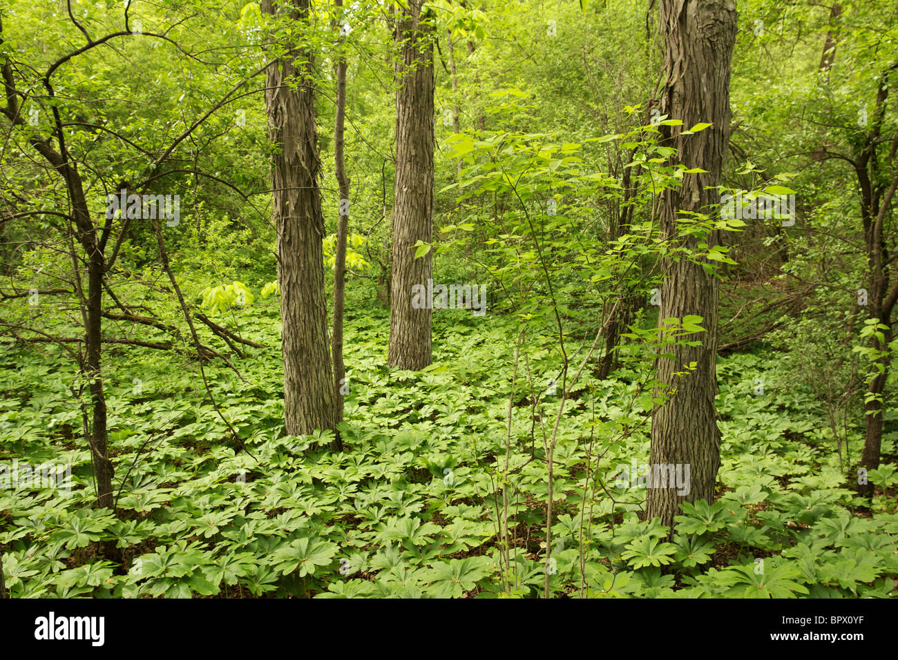 Hickory forest with May apples covering forest floor in spring. Moraine Hills State Park, Illinois - Stock Image
