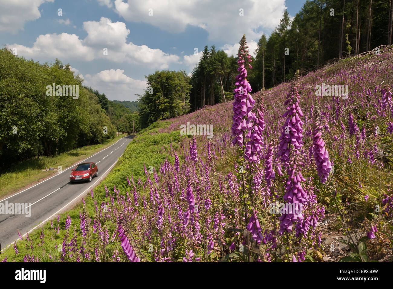 RED CAR ON ROAD IN FOREST OF DEAN WITH FOXGLOVES  iN FOREGROUND. Stock Photo