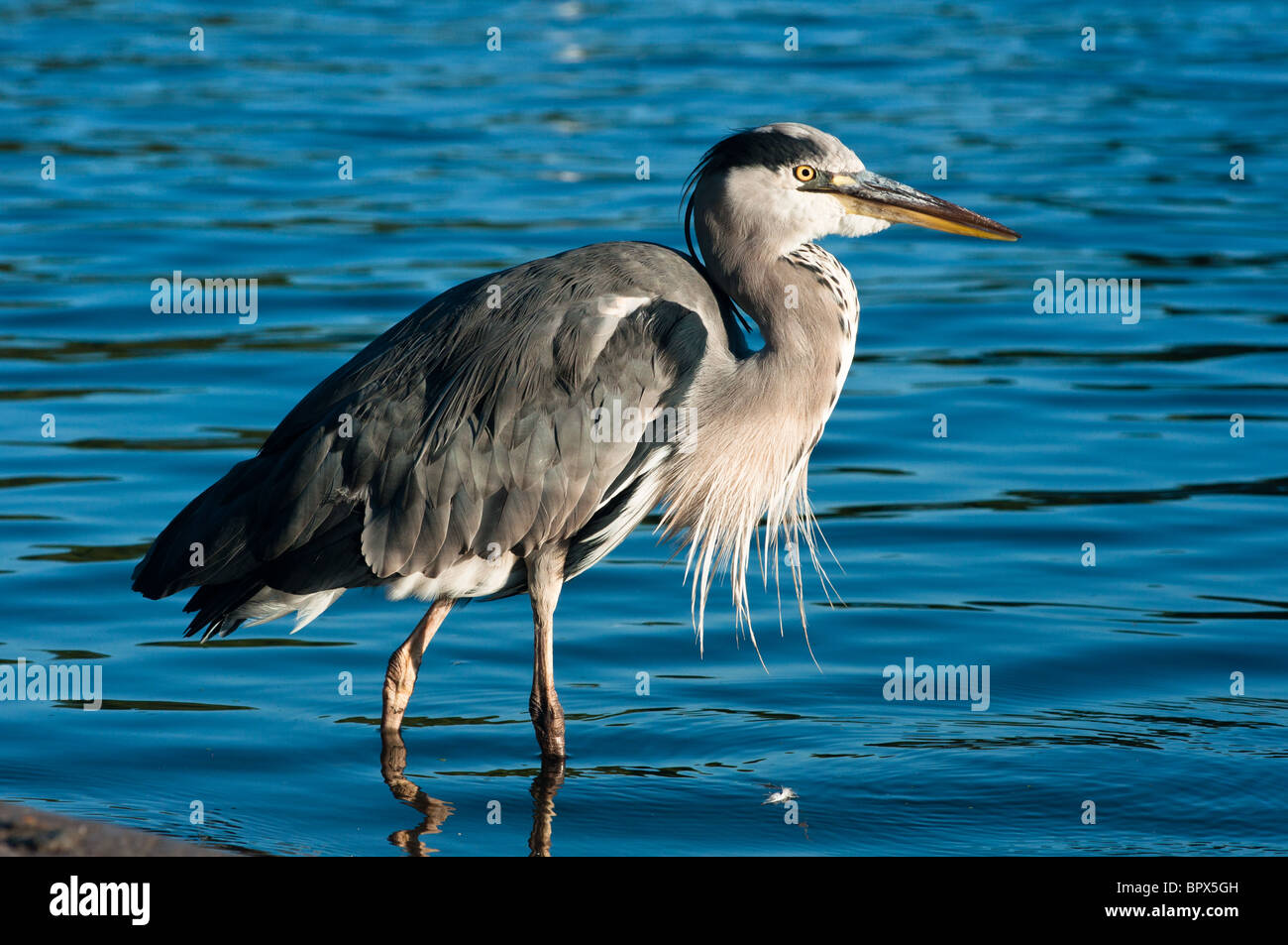 A grey heron seen in the Serpentine in Hyde park, London, in early morning light. - Stock Image