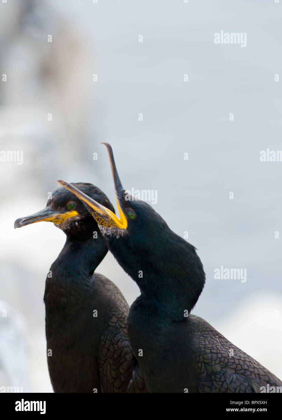 Two European or Common Shags (Phalacrocorax aristotelis) taken on the Farne Islands Northumberland. England. - Stock Image