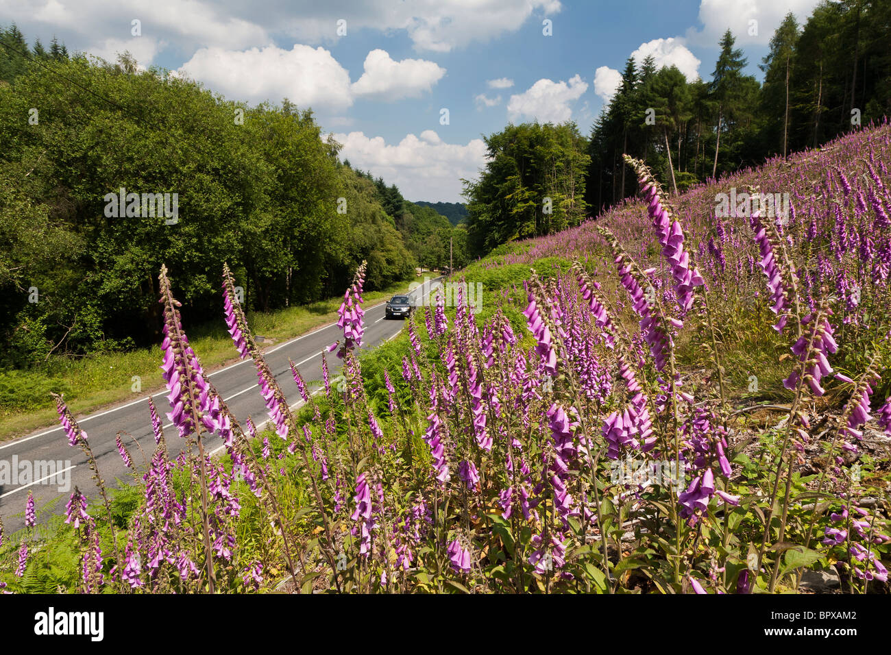 CAR ON ROAD IN FOREST OF DEAN WITH FOXGLOVES IN FOREGROUND Stock Photo