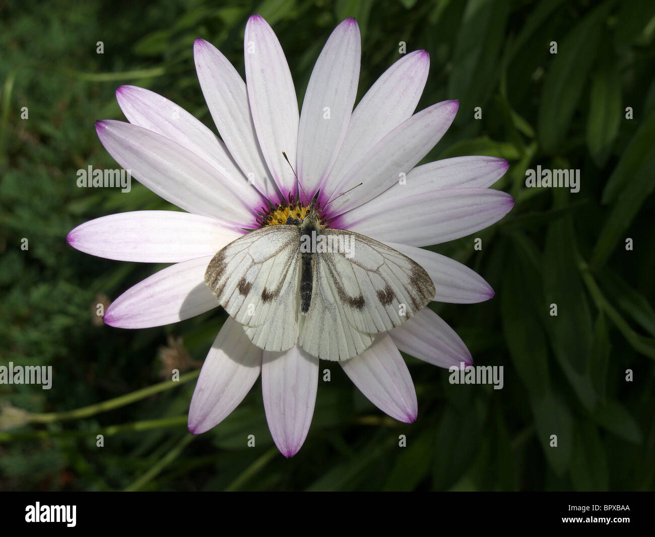 Large White Butterfly (Pieris brassicae) also known as the Cabbage White feeding on an Osteospermum Flower - Stock Image