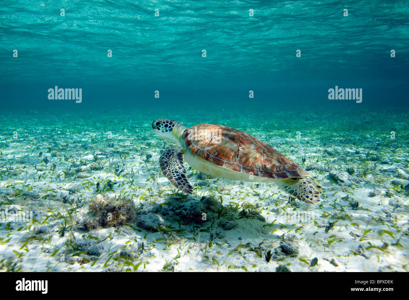 Green Sea Turtle in Belize - Stock Image