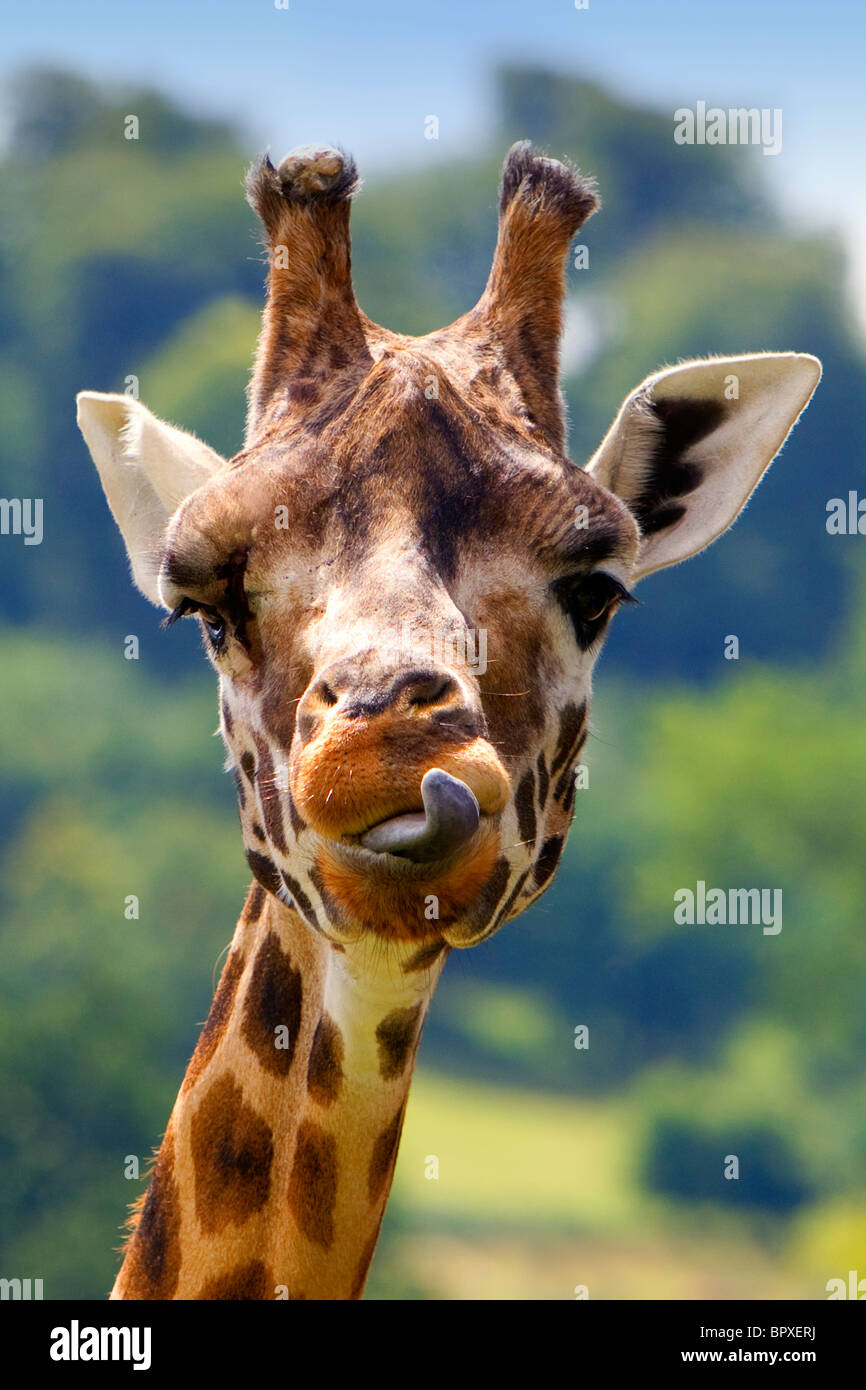 Rothschild Giraffe, Giraffa camelopardalis rothschildi, Longleat, Safari Park, Warminster, Wiltshire, United Kingdom - Stock Image