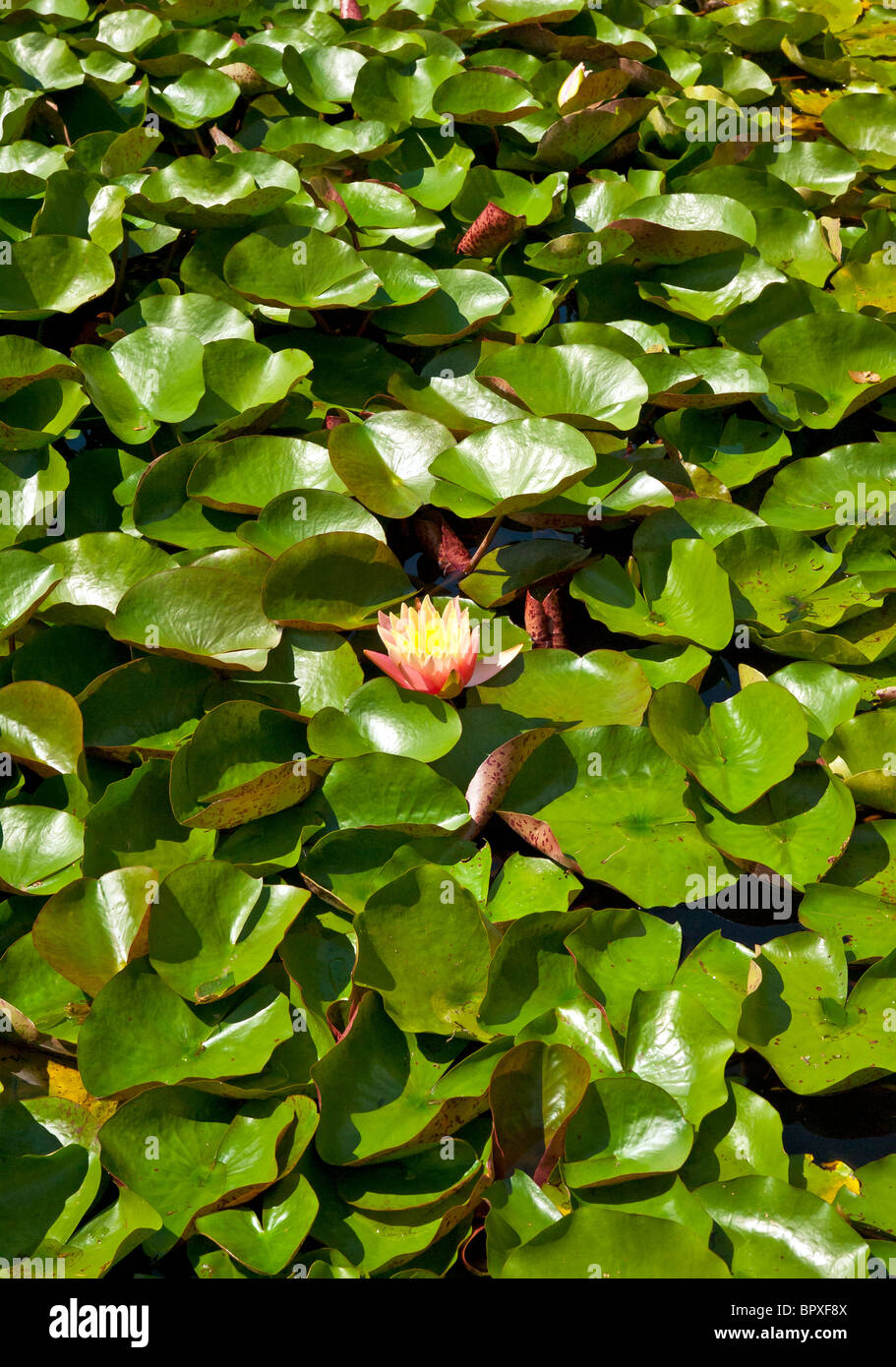 Flowering water lilly in a water garden. - Stock Image