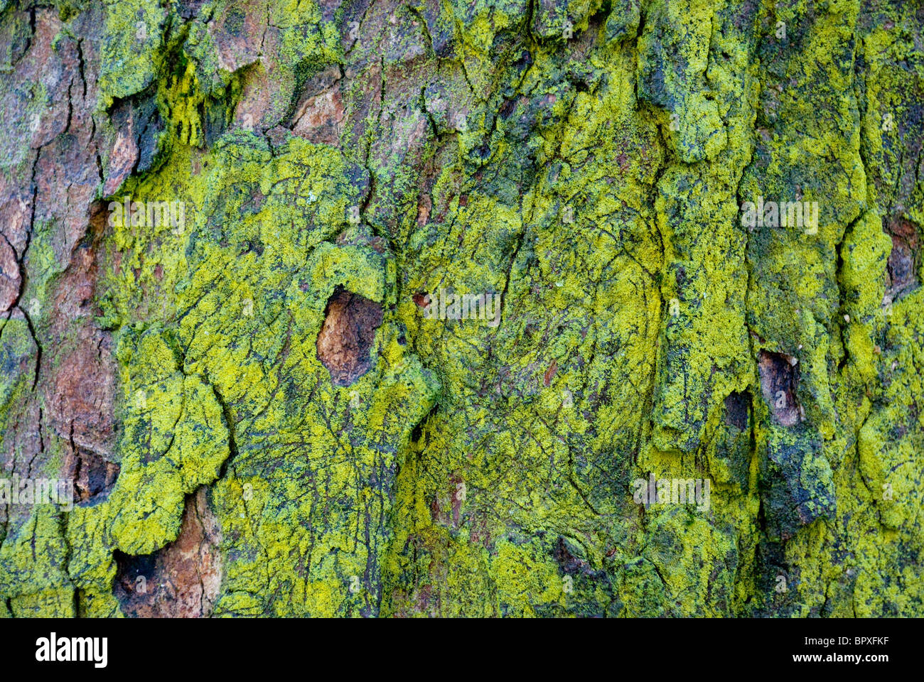 close up of shaded tree bark with chartreuse green moss - Stock Image