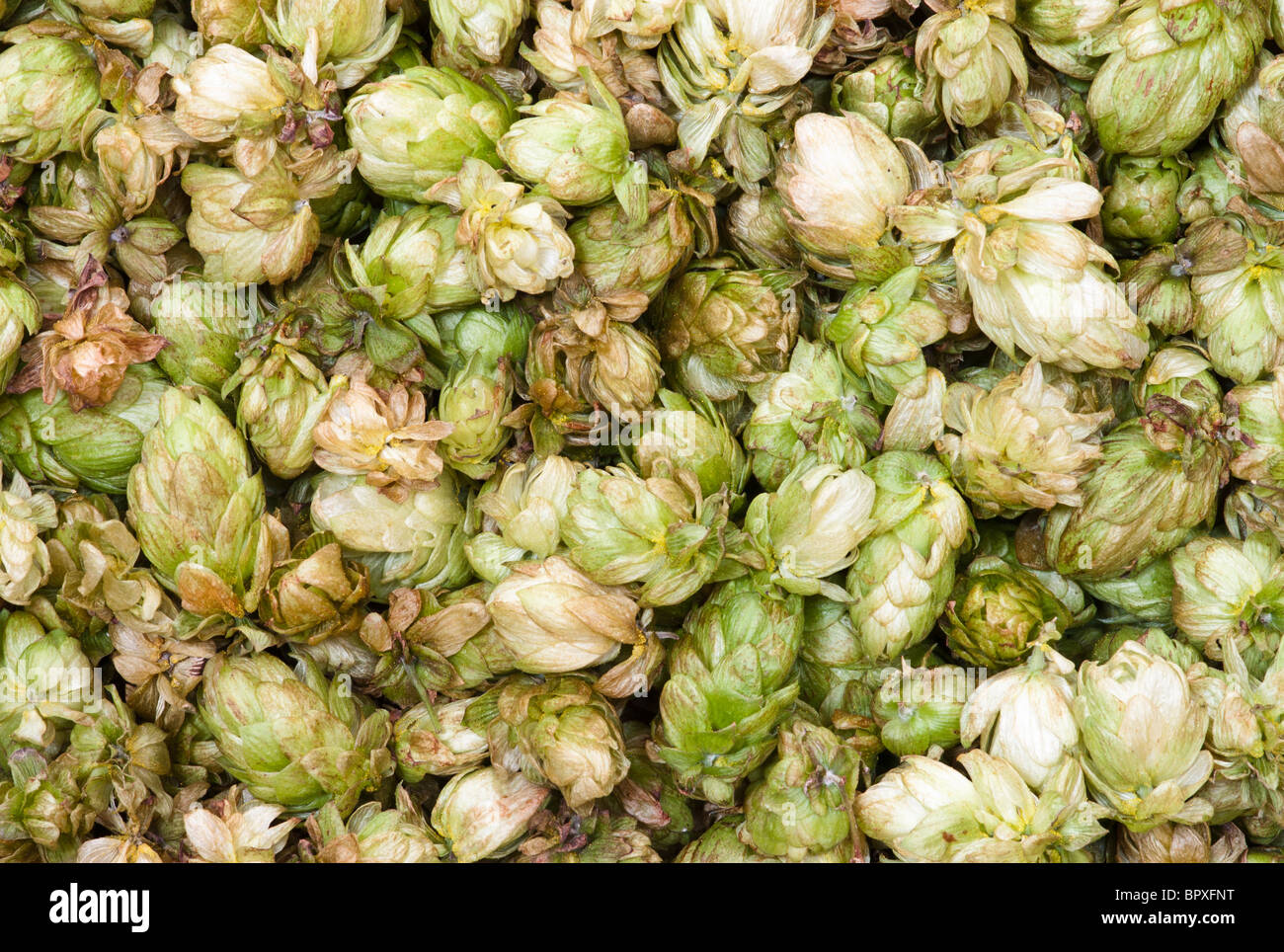 Close Up Image of Fresh Hops, Recently Harvested. - Stock Image