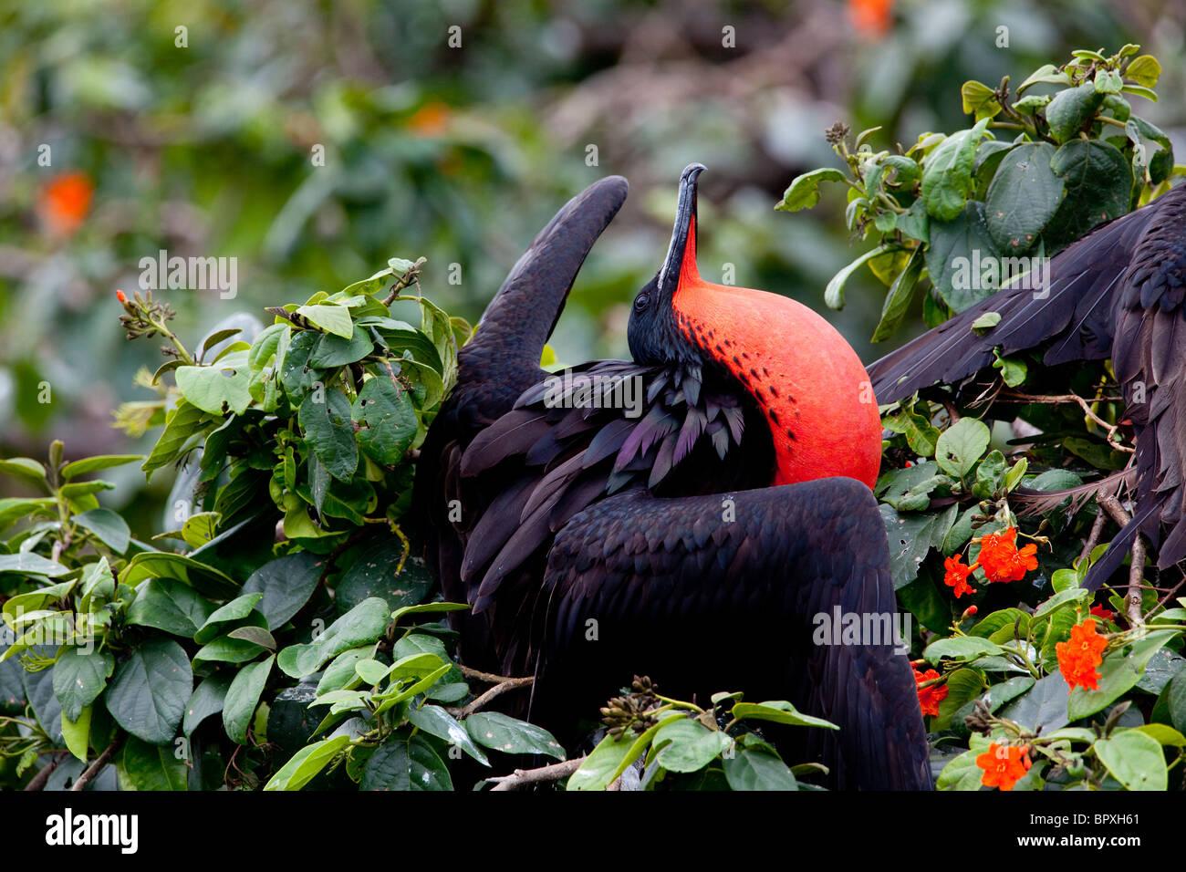 Frigate Bird - Halfmoon Caye, Belize - Stock Image