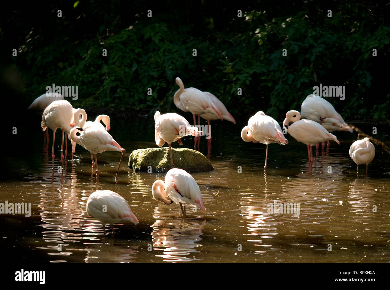 Greater Flamingos (Phoenicopterus roseus) Stock Photo
