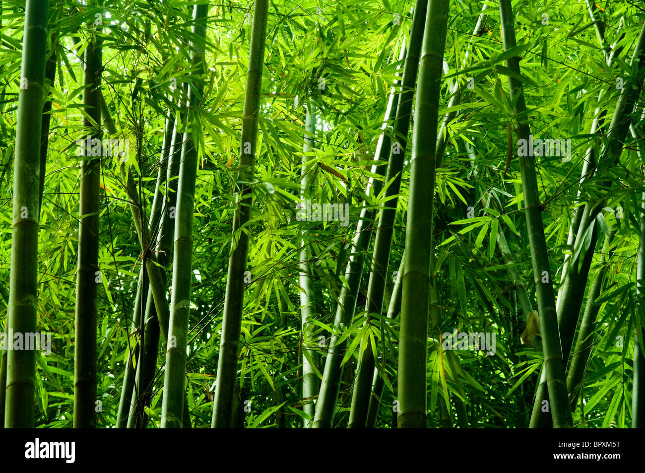 Landscape Of Bamboo Tree In Tropical Rain Forest Malaysia