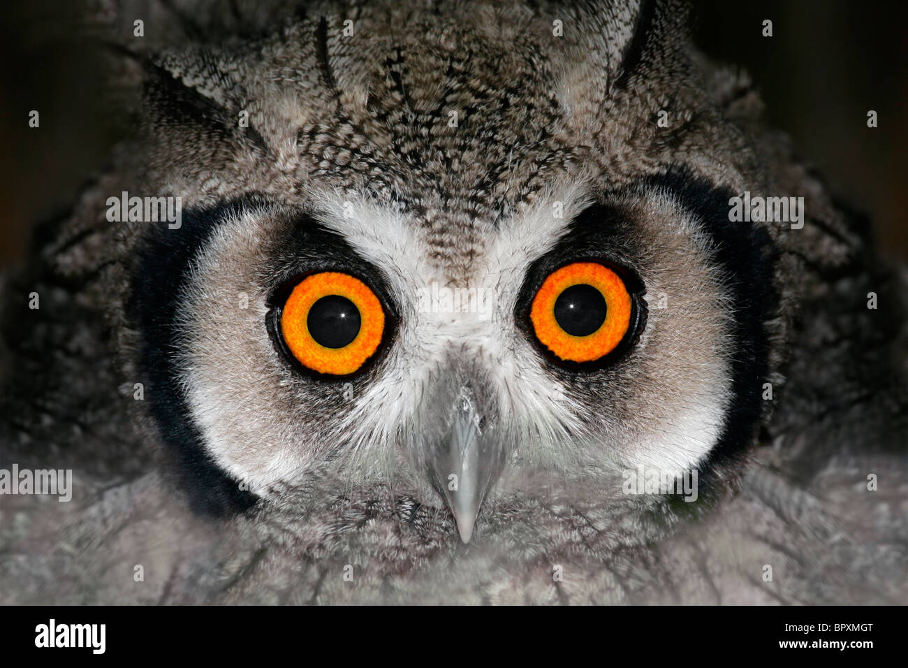 Close-up portrait of a white-faced owl (Otis leucotis) with large orange eyes, South Africa - Stock Image