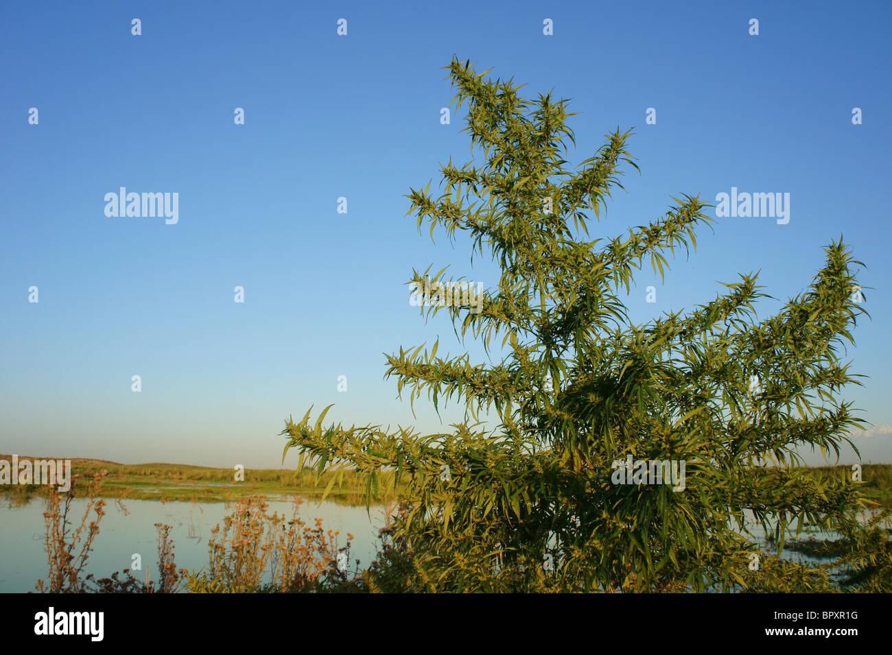 Huge cannabis bush in southern Kazakhstan - Stock Image