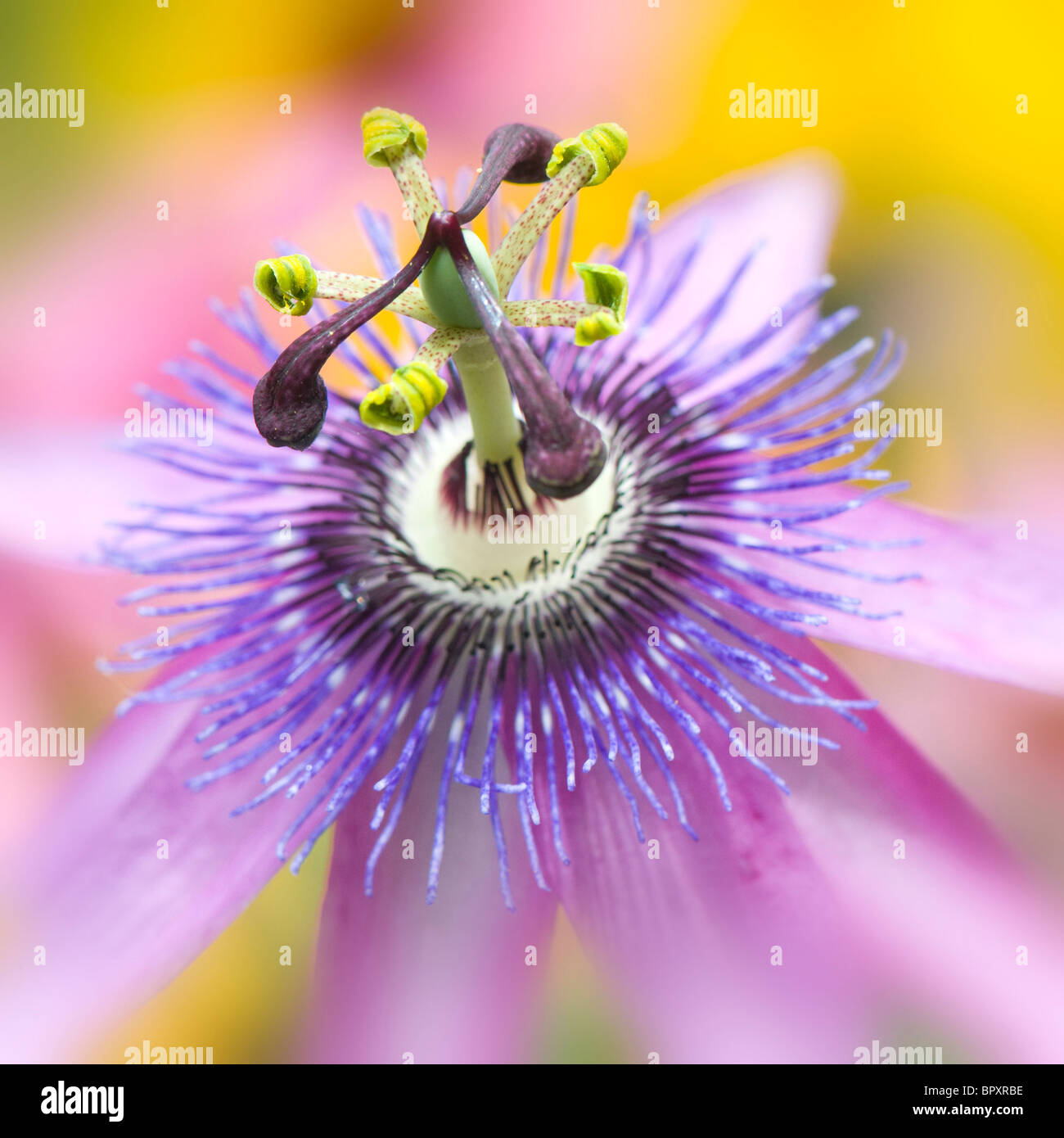 Close-up macro image of a single flowerhead from the Passion Flower - Passiflora 'Lavender Lady' - Stock Image