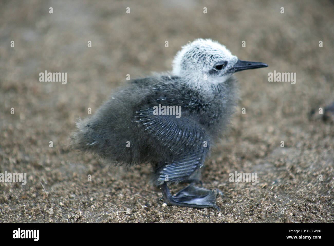 Brown, or Common Noddy chick (Anous stolidus) fallen from its nest in heavy tropical storms, on Bird Island - Stock Image
