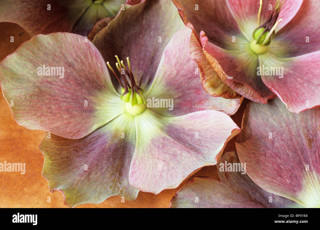Close up of pink and white flowers of Lenten rose or Helleborus orientalis lying together and past their prime - Stock Image