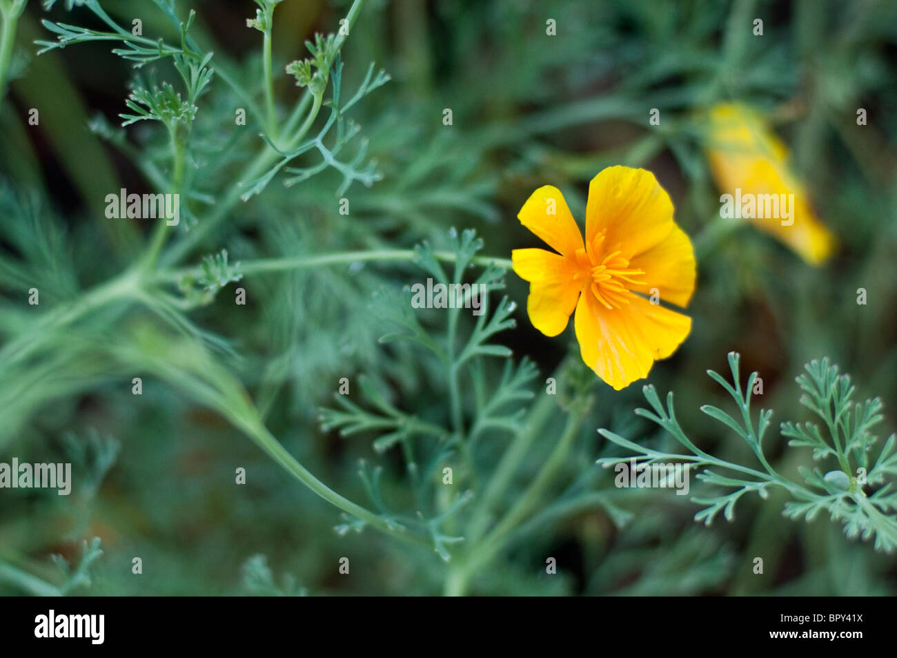 The orange blooms of a California Poppy plant. - Stock Image