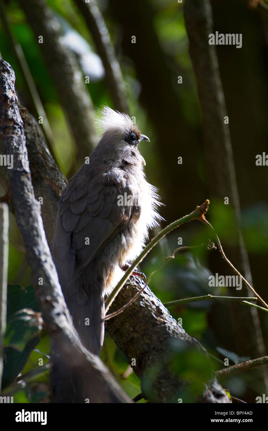 Speckled Mouse Bird Calling - Stock Image